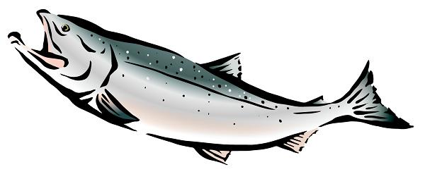 高級鮭トキシラズ時鮭通販おすすめランキングイラスト2。トキシラズ通販ランキング,時鮭通販おすすめ,時鮭,鮭児,トキシラズ,ケイジ,口コミ,おすすめ,人気,送料,税込,北海道,天然鮭,サケ,ルイベ,切り身,半身,新物,紅鮭,新巻鮭,ハラス,冷凍